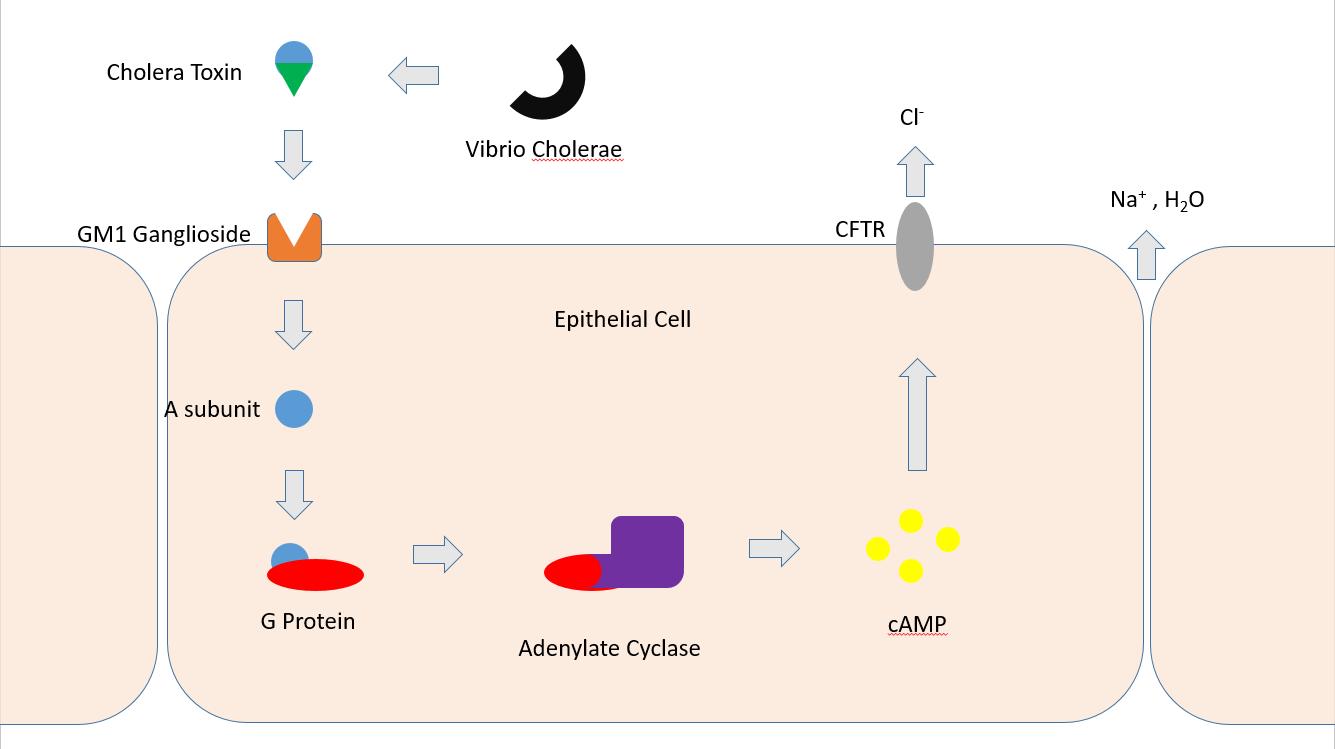 toxine vibrio cholerae