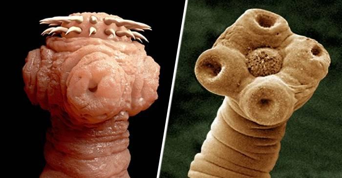 cum să aducă viermi la viermi helminth therapy goal