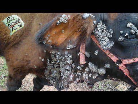 La papilomatosis bovina que es - Directory - Documents   Scribd