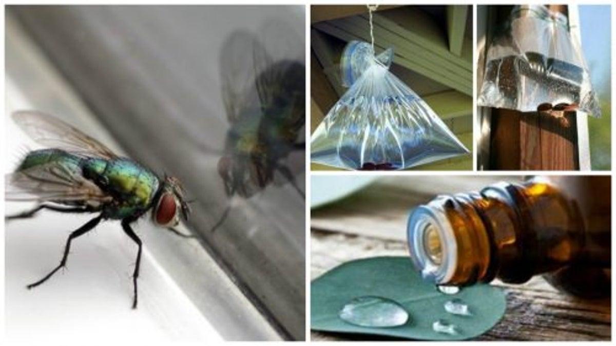 Insecte domestice parazitează purici
