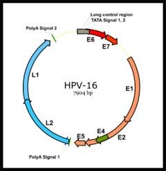 Virus papiloma humano genotipo 16