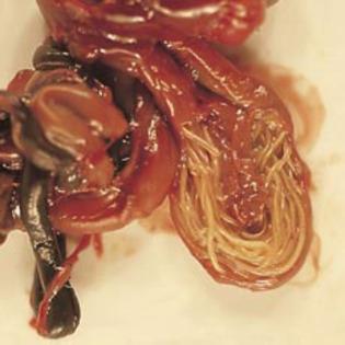 sursa de invazie de viermi