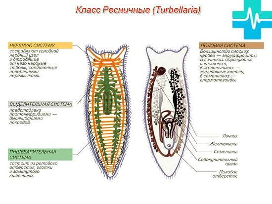 viermi și speciile lor pe scurt)