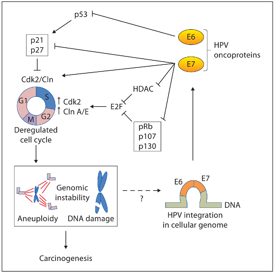 human papillomavirus vaccine mechanism action)