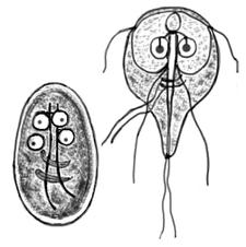 dimensiunea chistului giardia duodenalis