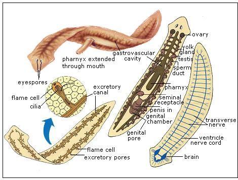 taxonomie platyhelminth