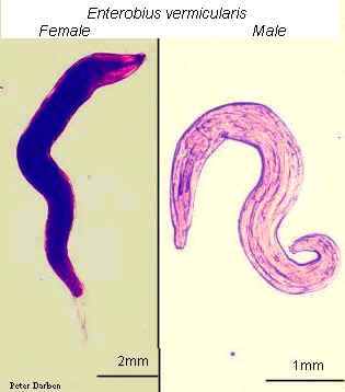 enterobius vermicularis macho y hembra)