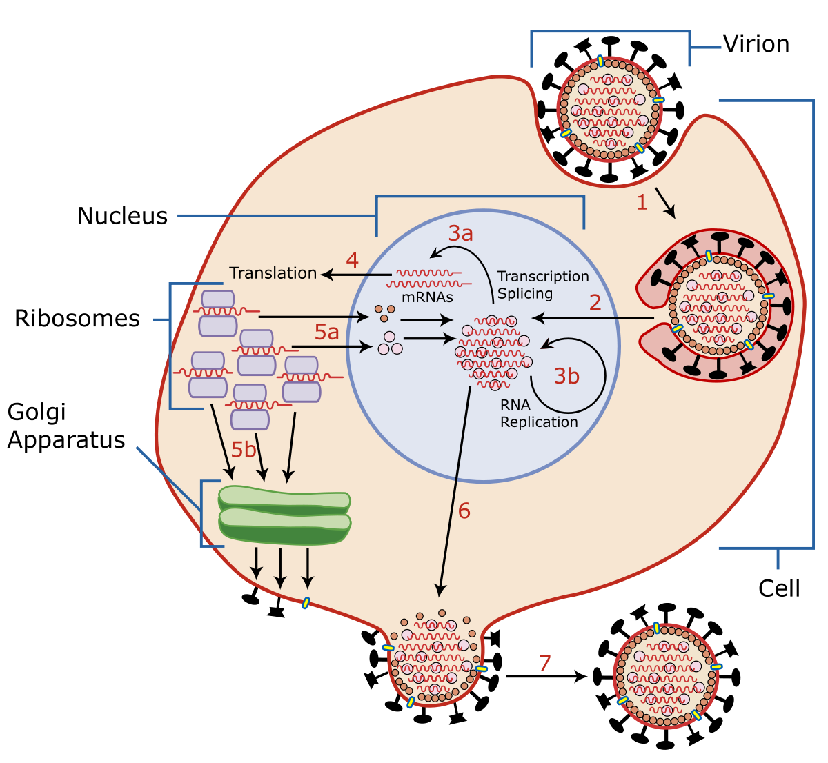 Papilloma virus definition simple