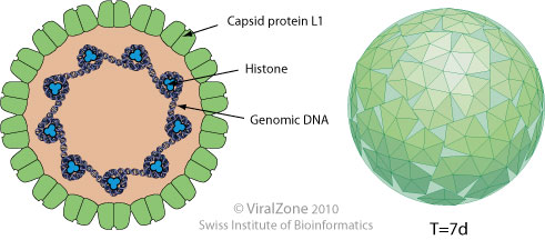 human papillomavirus size