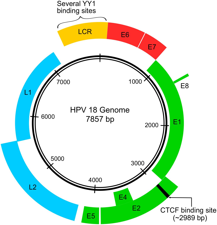 papillomavirus genome size