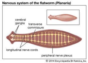 phylum platyhelminthes)