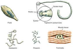 helminth medical term definition