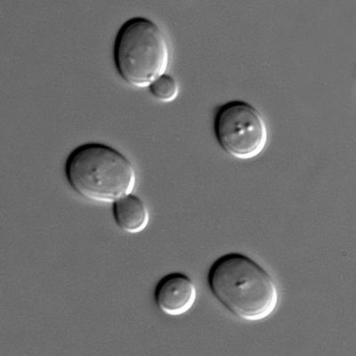 bacterii de fermentatie