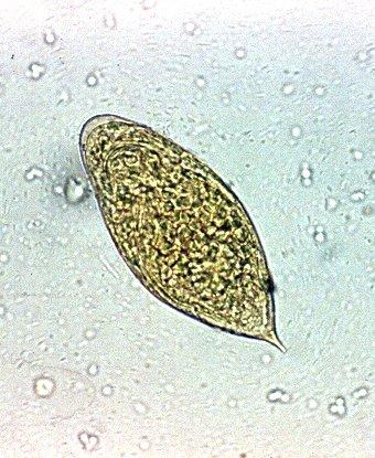 mucegai helminthosporium