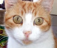papilloma orecchio gatto)