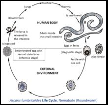 scolex tapeworm simptom de infecție cu giardia