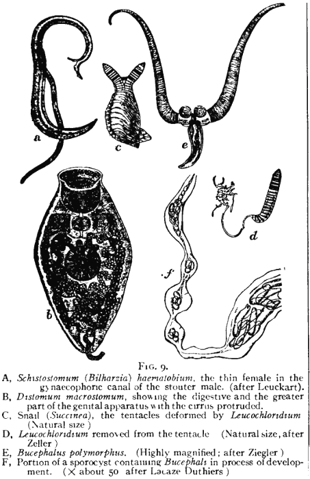 platyhelminthes flukes trematoda