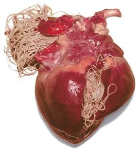 simptome și tratament viermilor inimii
