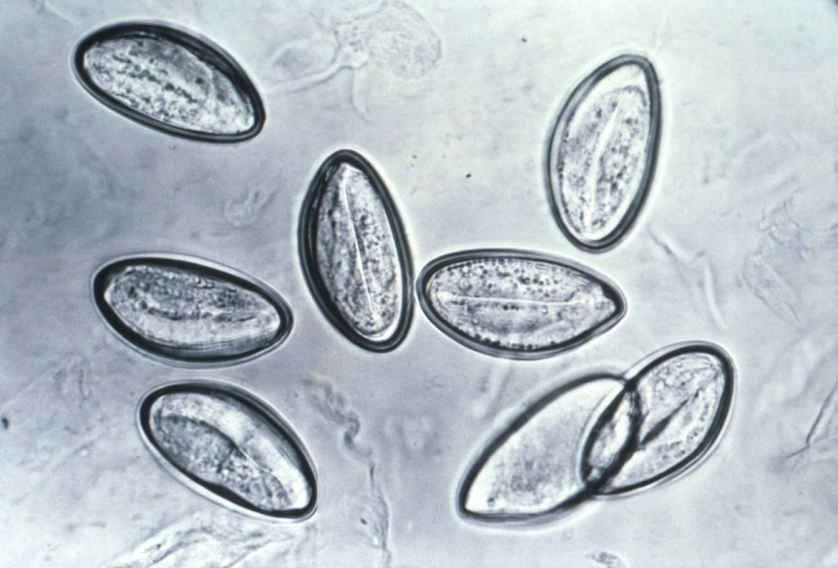oxiuros diarreia cum să aduci ouă de vierme