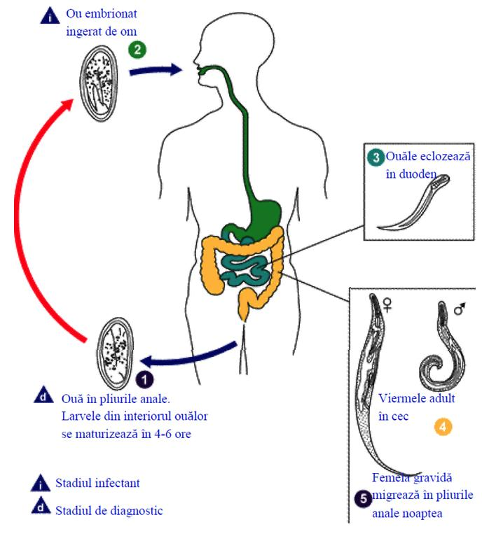 ciclu de viață de viermi