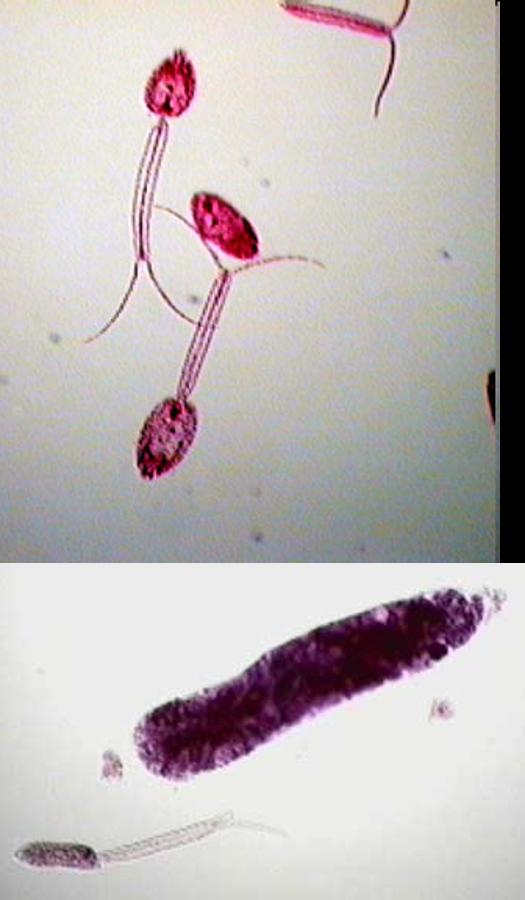 Platelminți