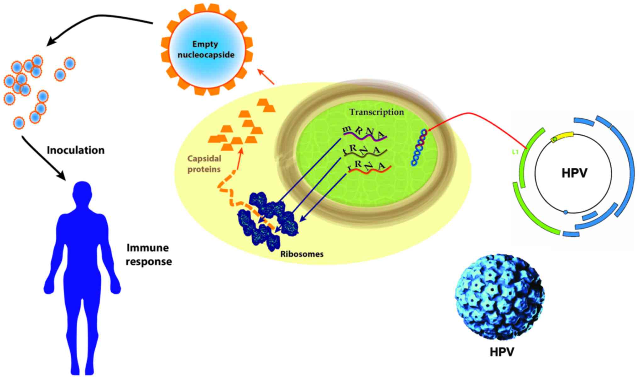 Hpv and cancer mechanism Traducere