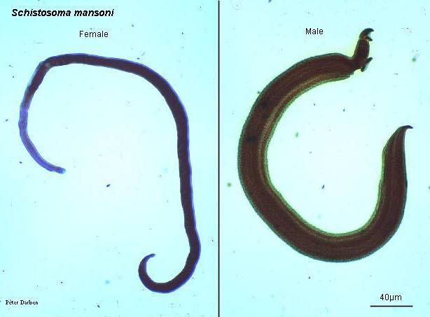 Viermele de gălbează - Wikipedia
