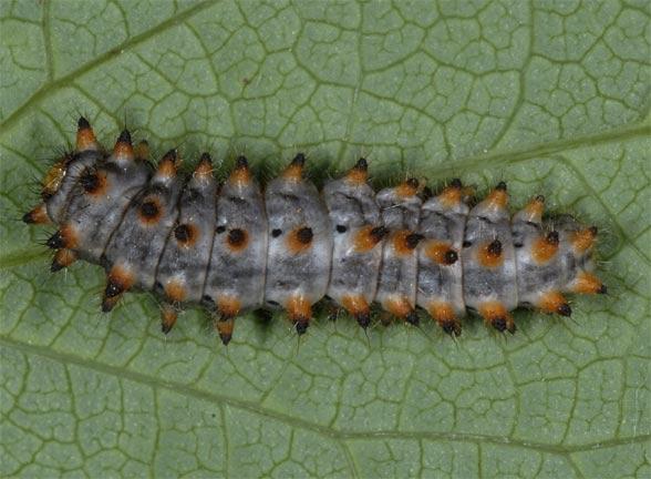 larve rotunde papilloma virus cancerogeno