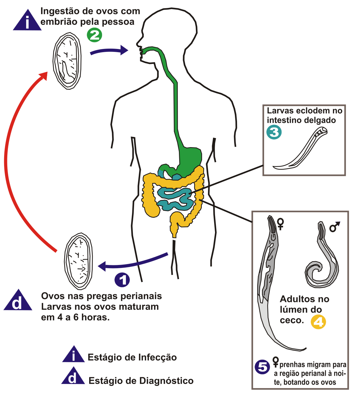 enterobiasis ciclo de vida cauzele și tratamentul giardiozei