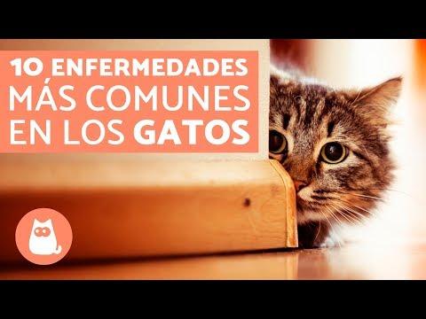 gatos con oxiuros)