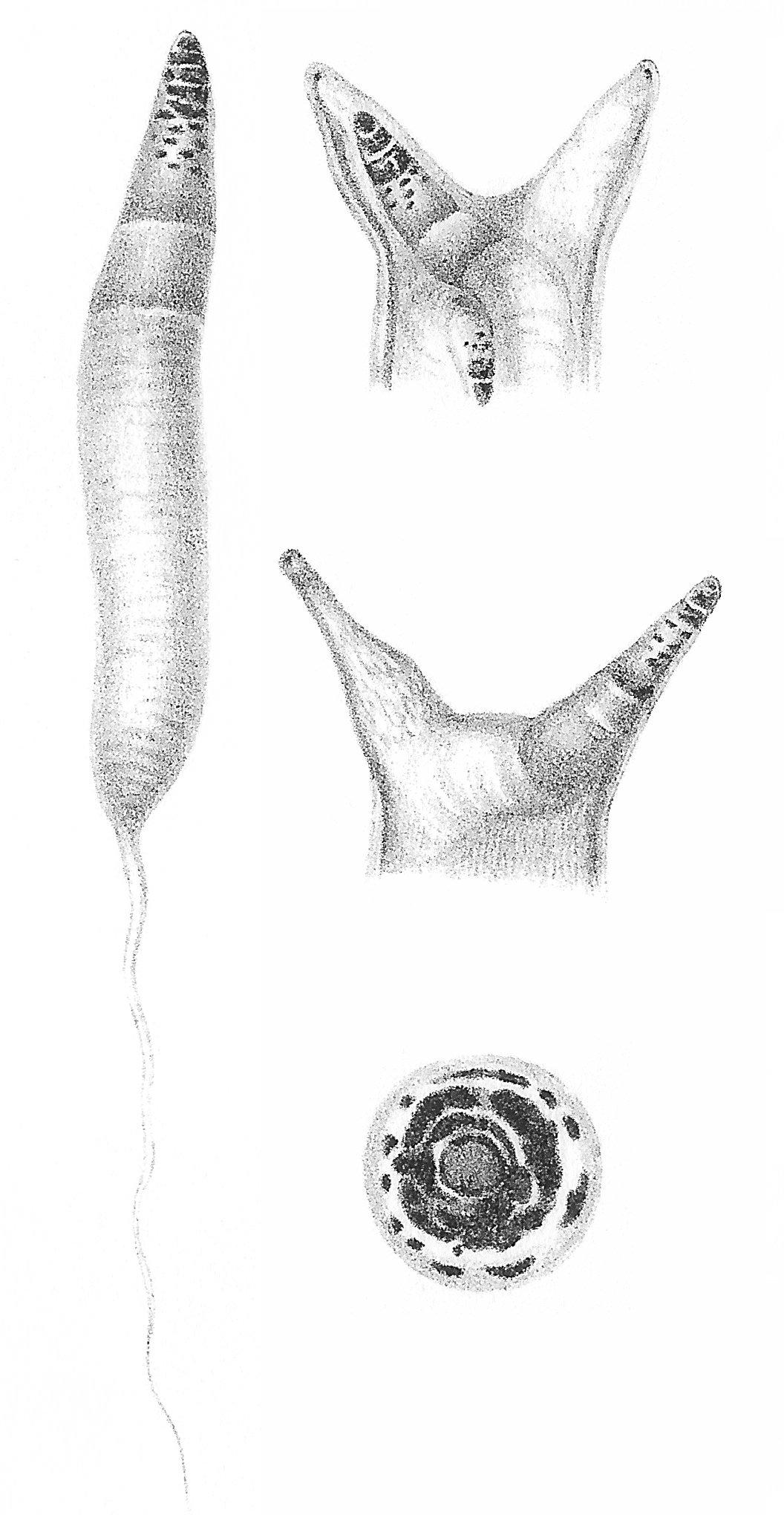 forme larvare de platyhelminthes