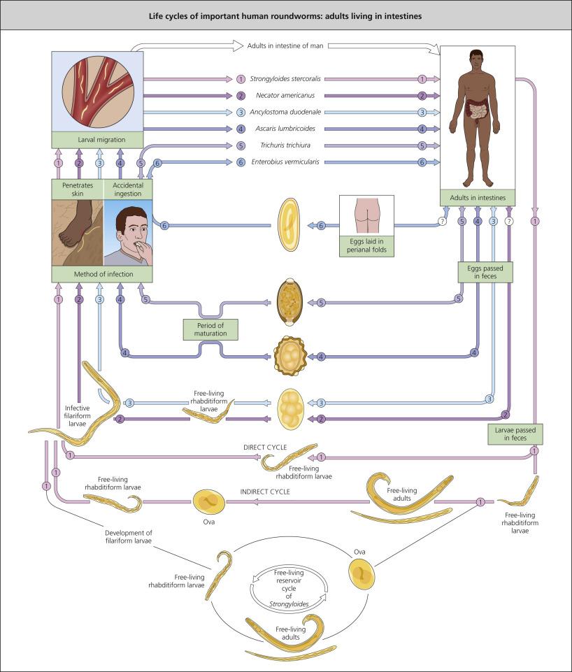 enterobius vermicularis disease)