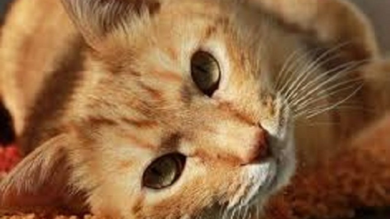 Viermi intestinali, la pisici