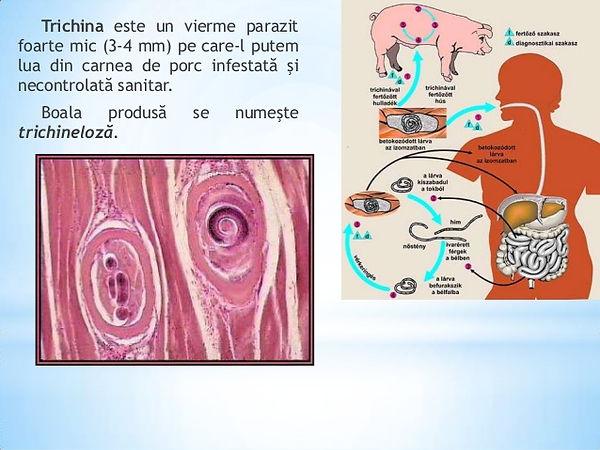 neodermata platyhelminthes fireworm la adulți