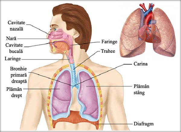 inelat respiratorii)