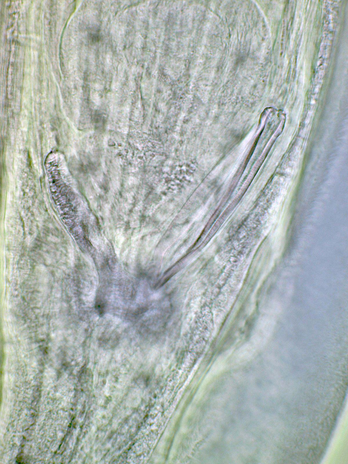 Paraziți gongylonema, Paraziti gongylonema pulchrum. Helminți bio și geo