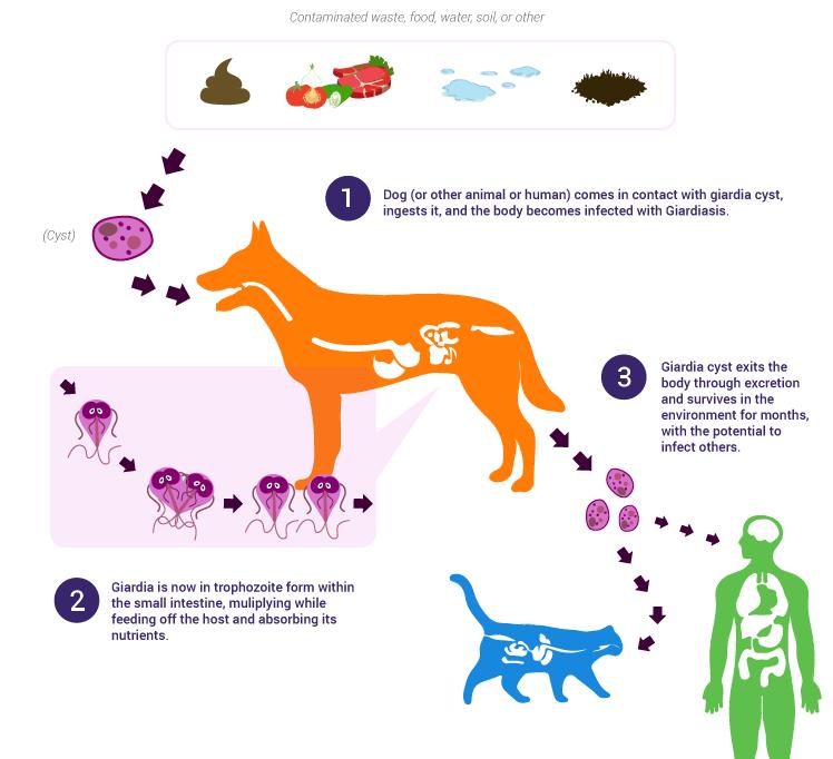giardia gatto leac natural