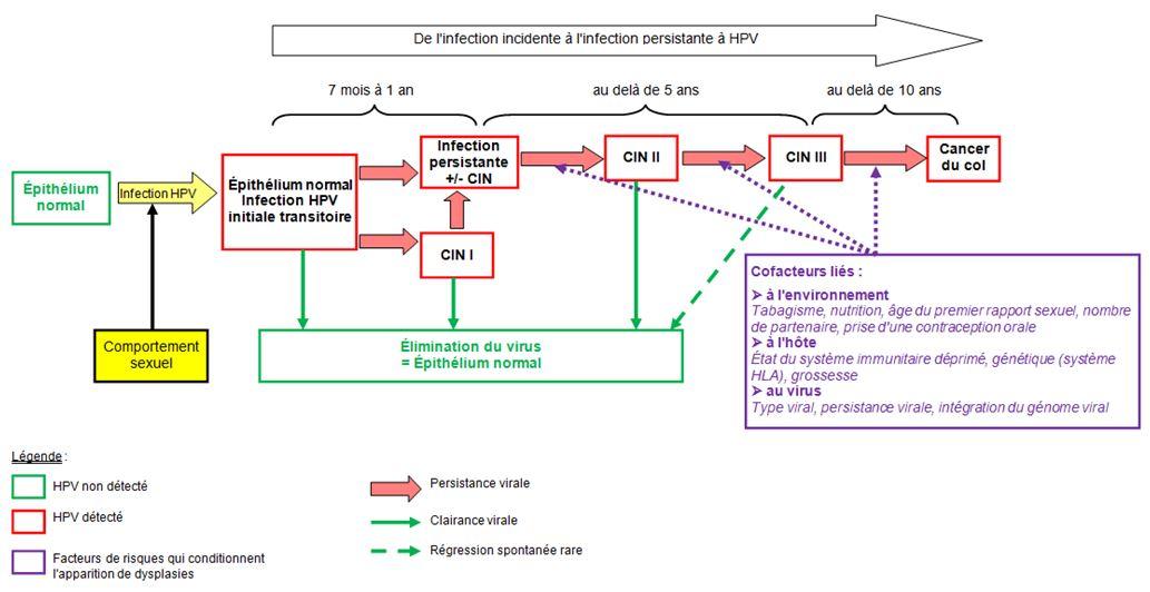 l evolution du papillomavirus)