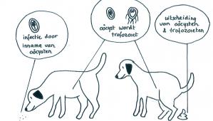 virus giardia hond)