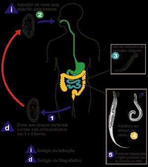 simptome ale infecției cu helmint la om paraziți detoxici