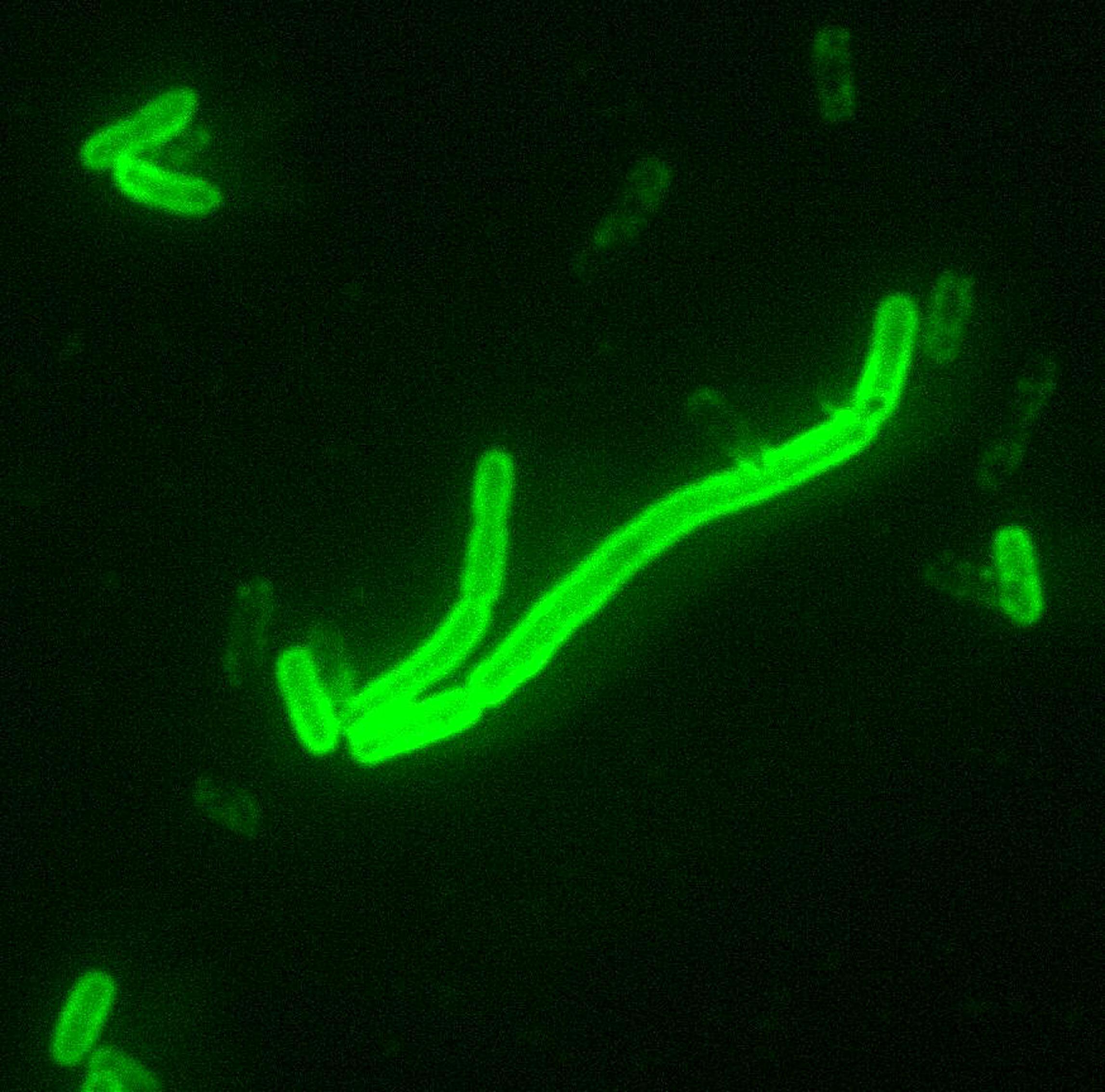 bacterie yersinia