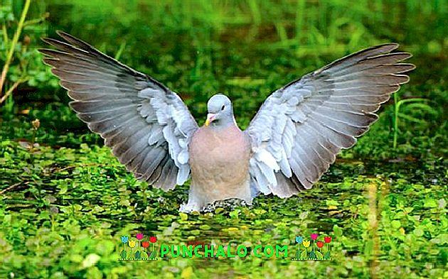 Viermii la porumbei