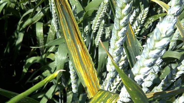 Parazit al plantelor de iarbă de grâu