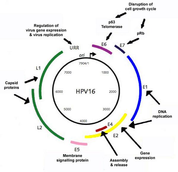 hpv virus genome)