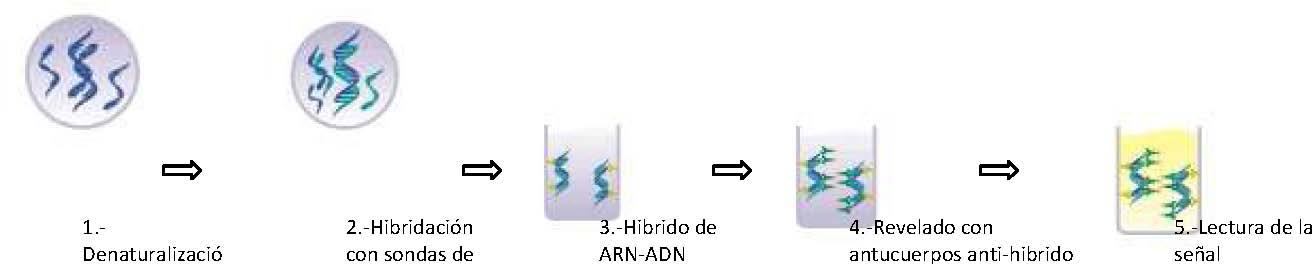 hpv papiloma virus captura hibrida)