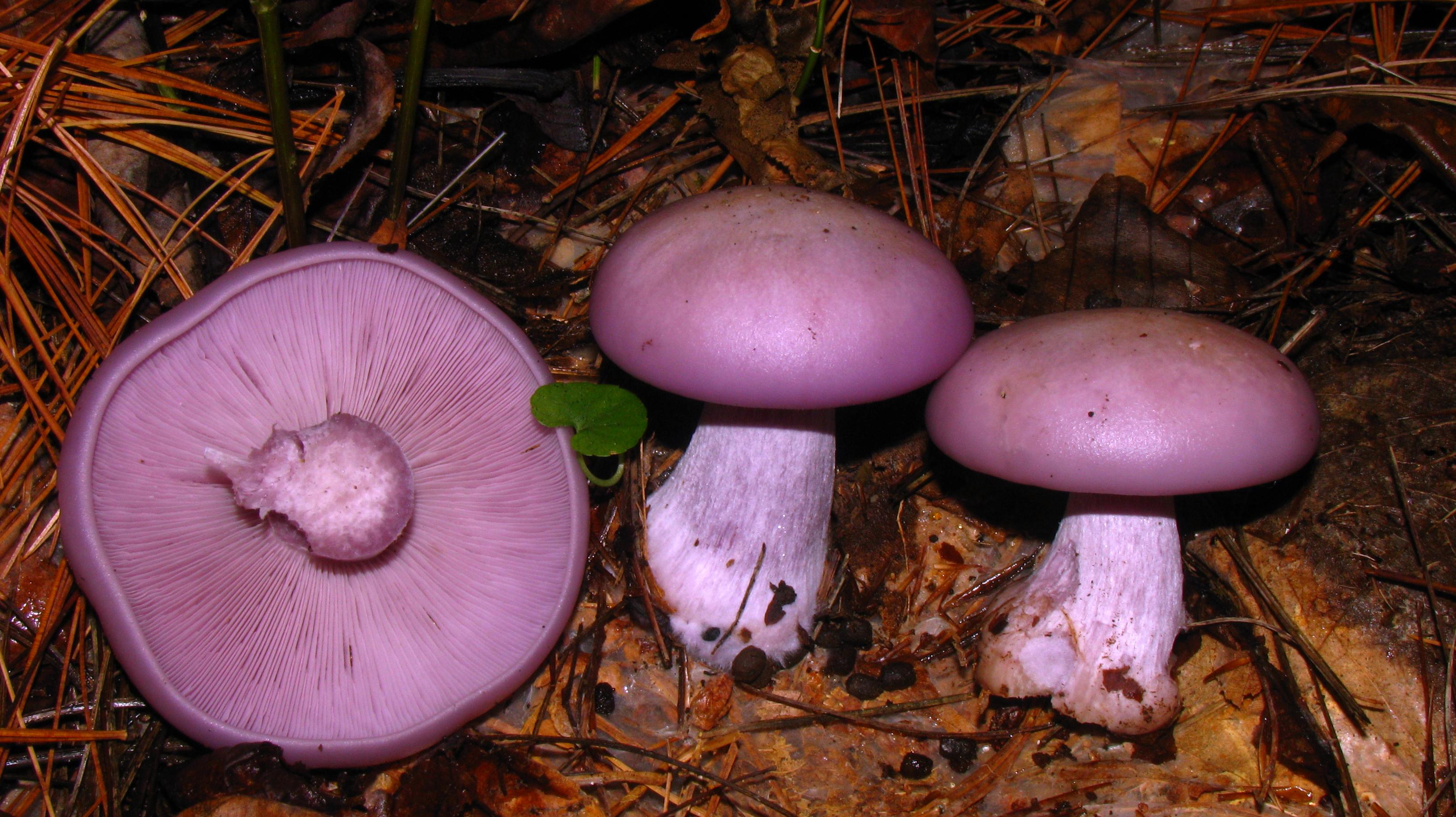 ciuperci nicoreti