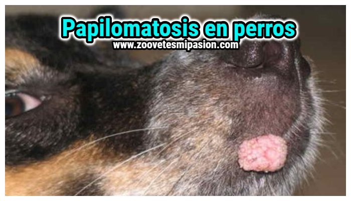 tratamiento para papilomatosis canina