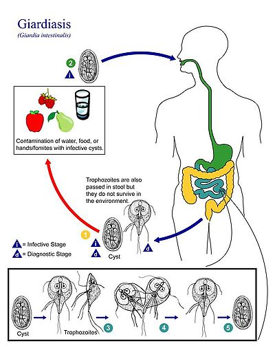 bacterii giardia que es)