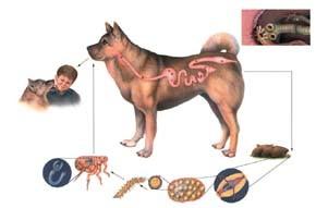 Parazit u psa - Parazit veterinar