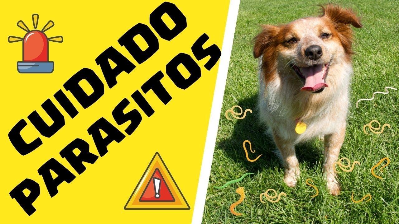 tratamiento para oxiuros en perros